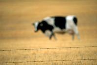 Grazing Cow, Alberta, Canada
