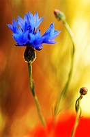 Cornflower, close-up