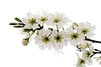 Blossoms of whitethorn Crataegus, close-up