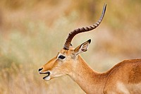 Impala, close-up