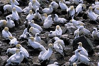 Gannet colony, Cape St  Mary´s Ecological Reserve Newfoundland & Labrador