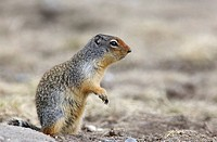 Columbian Ground Squirrel, Banff National Park, Alberta