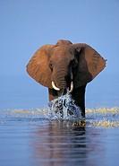 African Elephant, Lake Kariba, Matusadona National Park, Zimbabwe