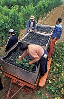 Grape Harvesters Working