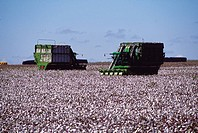 Cotton, plantation