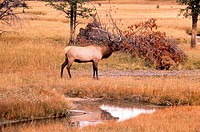 Elk Bull, Yellowstone Park, Wyoming