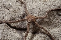 Brittle Star (Amphiura brachiata). Galicia, Spain