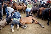 Fiesta de la Rapa das Bestas in Sabucedo, Pontevedra province. Galicia. Spain.