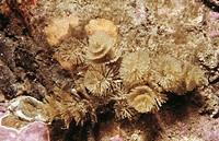 Bryozoa (Bugula plumosa). Ria of Vigo, Pontevedra province, Galicia, Spain
