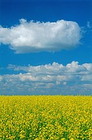 Canola Field, Treherne, Manitoba
