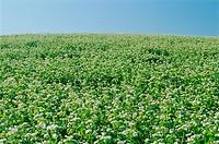 Buckwheat, Holland, Manitoba