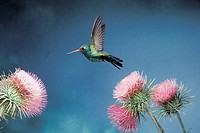 Broad-Billed Hummingbird Flying Over Pink Thistles