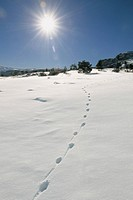 Coyote Tracks in Snow, Yellowstone National Park, WY