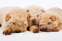 Three Shar Pei puppies sleeping, white background, studio shot