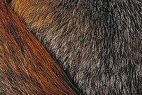 Gray Fox fur detail The only North American canid with true climbing ability Florida Urocyon cinereoagenteus