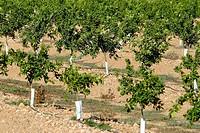 Orange trees. Delta del Ebro. Baix Ebre. Tarragona. Catalunya. Spain.