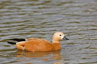 Ruddy shelduck (Tadorne ferruginea)