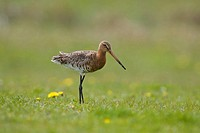 Close_up of Black_tailed Godwit Limosa limosa bird in field