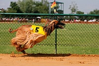 Whippet dog running on race track
