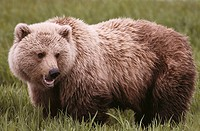 Brown Bear (Ursus arctos). McNeil River State Game Sanctuary, Alaska, USA