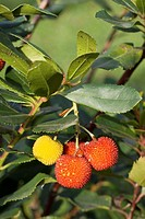 Strawberry tree (Arbutus unedo), fruits