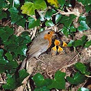 European Robin (Erithacus rubecula) at nest with young. Sussex, England, UK