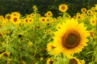 Sunflowers in field, blur