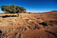 Tree in the Namib desert. Namib-Naukluft Park, Namibia