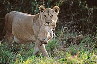 Lioness (Panthera leo) and cub. Masai Mara Natural Reserve, Kenya
