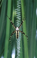 Garden Spider (Argiope aurantia), male spins zigzag on female's web. South Carolina, USA