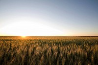 Field of wheat at sunset, Saskatchewan, Canada
