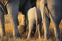 African Elephant (Loxodonta africana). Serengeti National Park, Tanzania