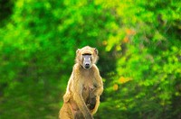 Female baboon sitting in a forest, Kruger National Park, Mpumalanga Province, South Africa