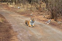 Tigress Panthera tigris sitting on the dirt road, Ranthambore National Park, Rajasthan, India