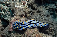 Nudibranch swimming underwater, Papua New Guinea