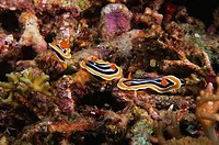 Three Nudibranches swimming underwater, Papua New Guinea