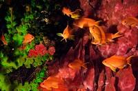 Lyre-Tail Anthias fish Pseudanthias squamipinnis underwater, North Sulawesi, Sulawesi, Indonesia