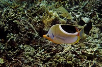 Saddled butterflyfish Chaetodon ephippium swimming underwater, Papua New Guinea