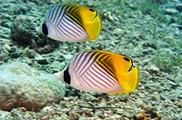 Two Threadfin butterflyfish Chaetodon auriga swimming underwater, Papua New Guinea