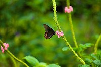 Close-up of a Ruby-Spotted Swallowtail Papilio Anchisiades butterfly pollinating flowers
