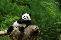 Close-up of a panda Alluropoda melanoleuca resting on a tree stump