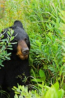 Close-up of a Black bear Ursus americanus