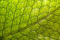 Close-up of a green leaf in a botanical garden, Hawaii Tropical Botanical Garden, Hilo, Big Island, Hawaii Islands, USA