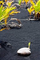 Coconut on black sand, Kalapana, Big Island, Hawaii Islands, USA