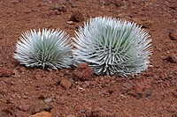 Silversword ferns in a field, Haleakala National Park, Maui, Hawaii Islands, USA