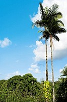 Low angle view of palm trees, Hilo, Big Island, Hawaii Islands, USA