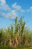 Sugar cane in a field, Hawaii Islands, USA