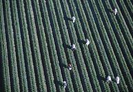 Workers harvesting strawberries, Florida