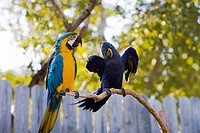 Blue-And-Yellow macaw Ara Ararauna with a Hyacinth macaw Anodorhynchus hyacinthus perching on a branch, Florida Keys, Florida, USA