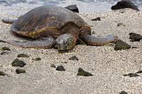 Close-up of a tortoise on the beach, Puuhonua O Honaunau National Historical Park, Kona Coast, Big Island, Hawaii Islands, USA